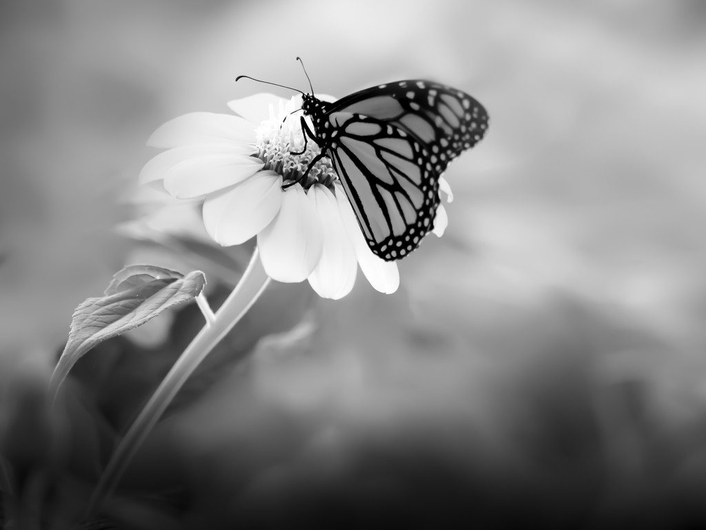 watching the butterflies flutter by  by northy