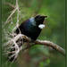 The grumpy tui by dide