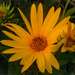 Sunflowers Make Me Smile by milaniet