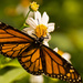 Monarch Butterfly in the Sun! by rickster549
