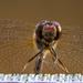 Dragonfly  by novab