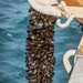 Mussels coming aboard