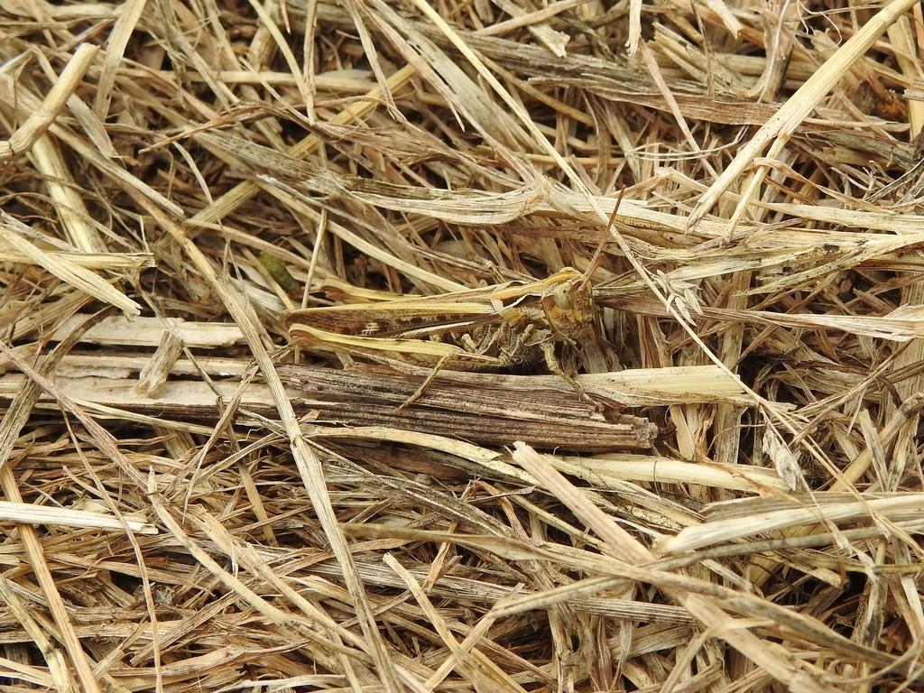 Find the Grasshopper by oldjosh