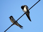 2nd Aug 2018 - Swallows