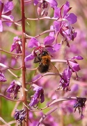 1st Aug 2018 - Bee on Rosebay Willowherb