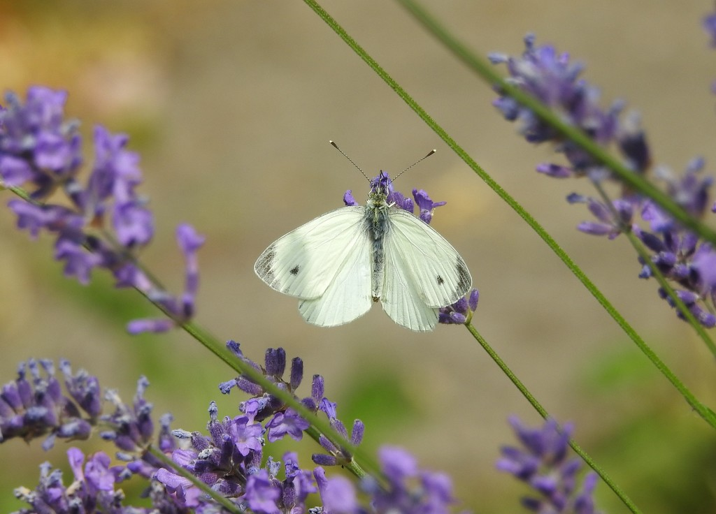 Cabbage White by oldjosh