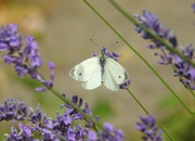 6th Aug 2018 - Cabbage White