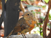 3rd Aug 2018 - Young Robin