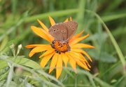 7th Aug 2018 - Ringlet  Butterfly