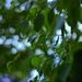 Birch Leaves & Bokeh by jayberg