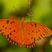 Gulf Fritillary Butterfly Sitting Still! by rickster549