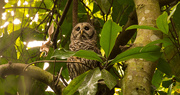 30th Aug 2018 - The Barred Owl Looking Over It's Surroundings!
