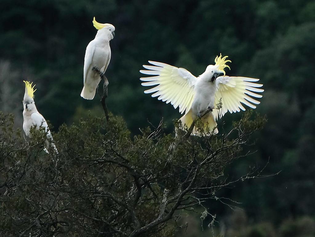 Sulphur crested cockatoos by maureenpp