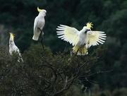 27th Aug 2018 - Sulphur crested cockatoos