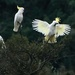 Sulphur crested cockatoos by maureenpp
