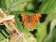 11th Aug 2018 - Comma Butterfly