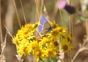 12th Aug 2018 - Common Blue on Ragwort