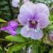 Viola by pamknowler