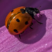 Ladybird by tonygig