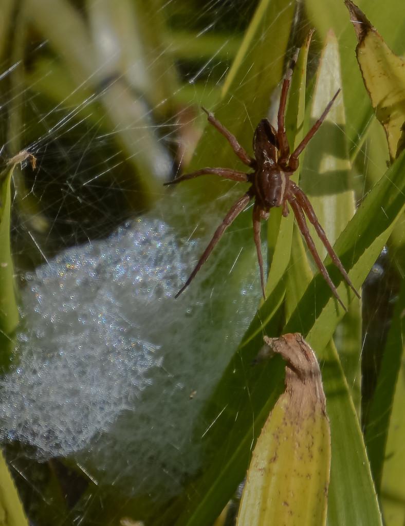 Britains Largest Spider by ilovelenses