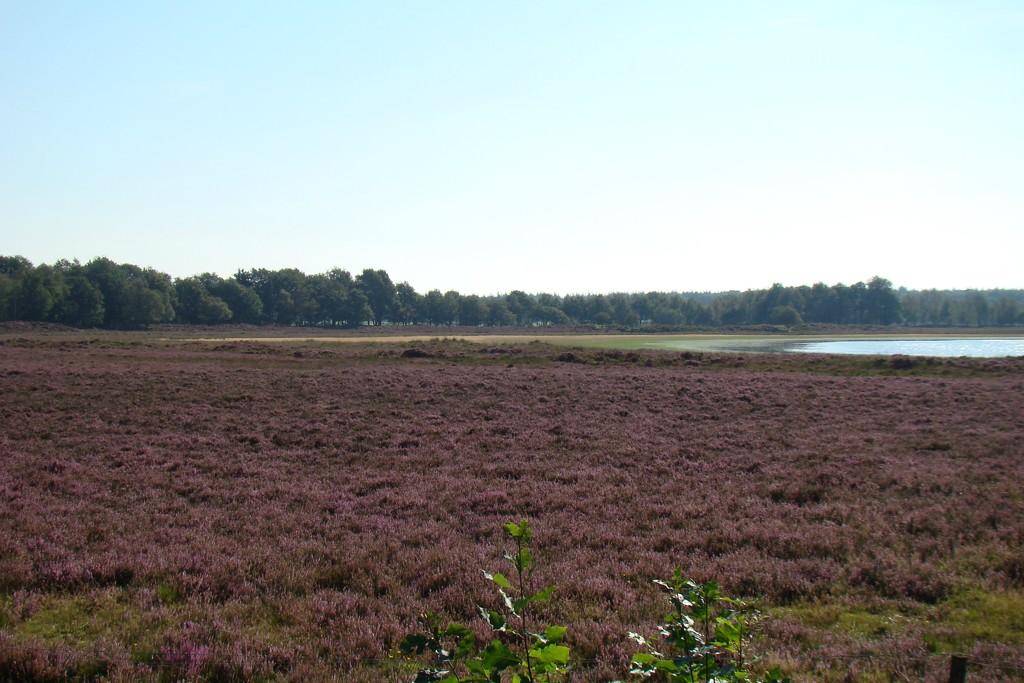 purple heath by gijsje