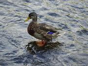 31st Aug 2018 - duck!