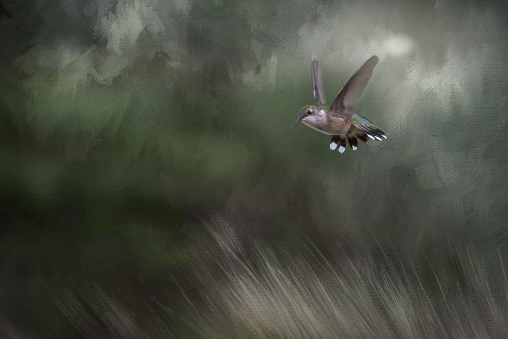 Rufous Hummingbird in Flight by taffy