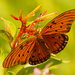 Gulf Fritillary Butterfly in The Garden! by rickster549