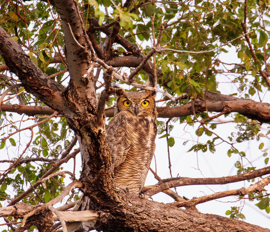 young great horned owl by aecasey
