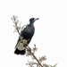 Magpie in a kowhai tree by maureenpp