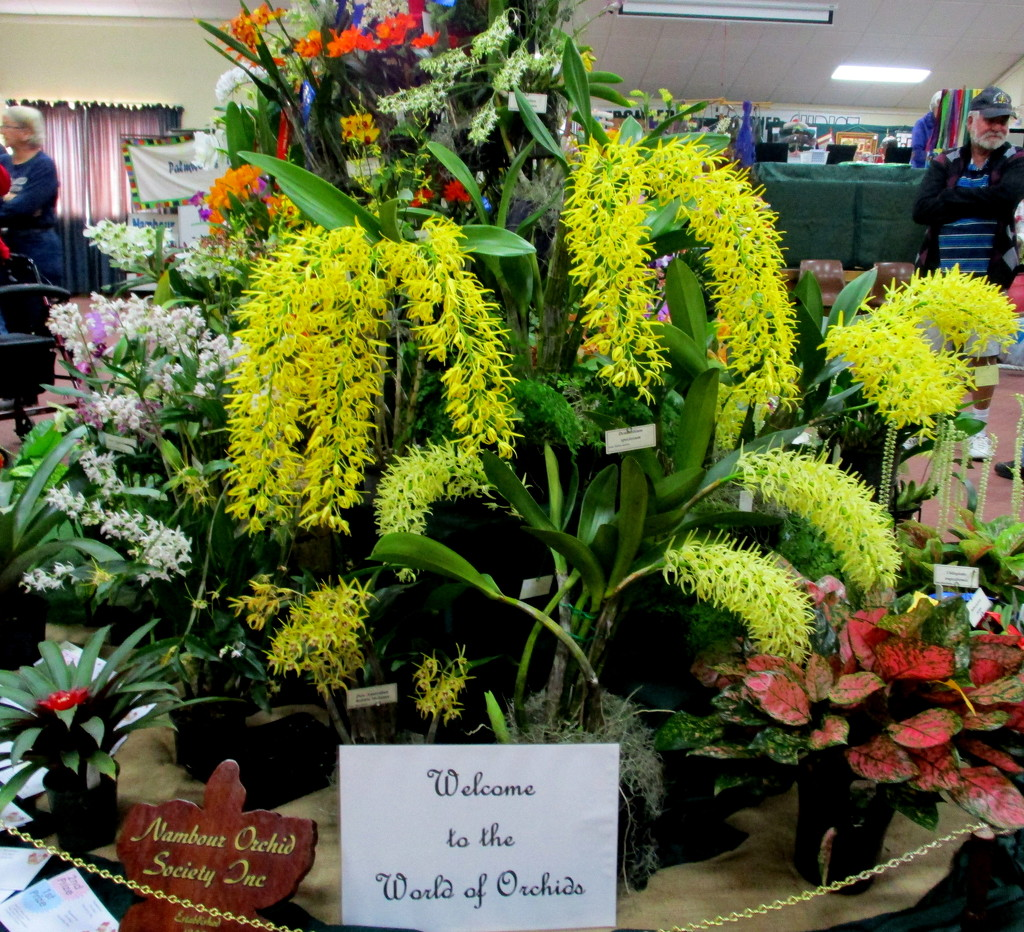 Nambour Orchid show by 777margo