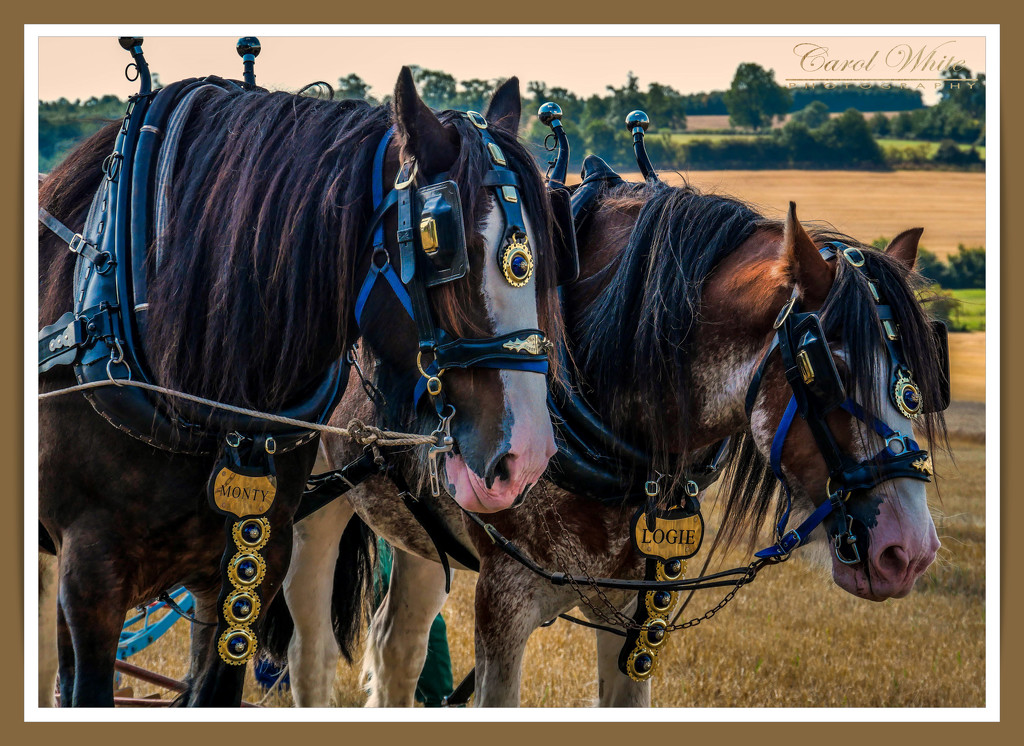 Monty And Logie,Working Horses by carolmw