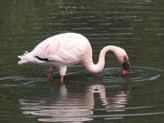 1st Sep 2018 - A lesser flamingo