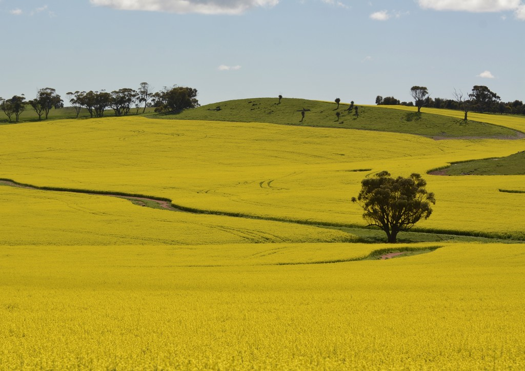 Playing In The Canola_DSC1738 by merrelyn