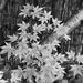 Maple Leaves SOOC 50mm Challenge