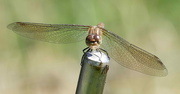 2nd Sep 2018 - Common Darter