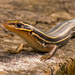 Blue Tailed Skink Lizard Posing! by rickster549