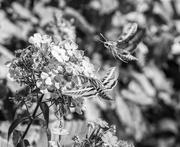 2nd Sep 2018 - hawk moths