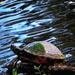 Mr. Turtle taking a break.