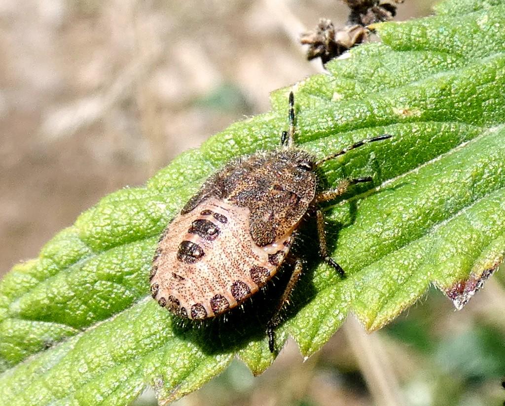 Hairy Shieldbug by julienne1