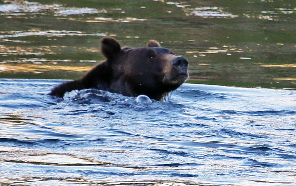 Bear swimming. Yellowstone. by hellie