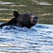 Bear swimming. Yellowstone.