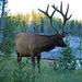 Elk male.