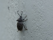 3rd Sep 2018 - Weevil on a Wall