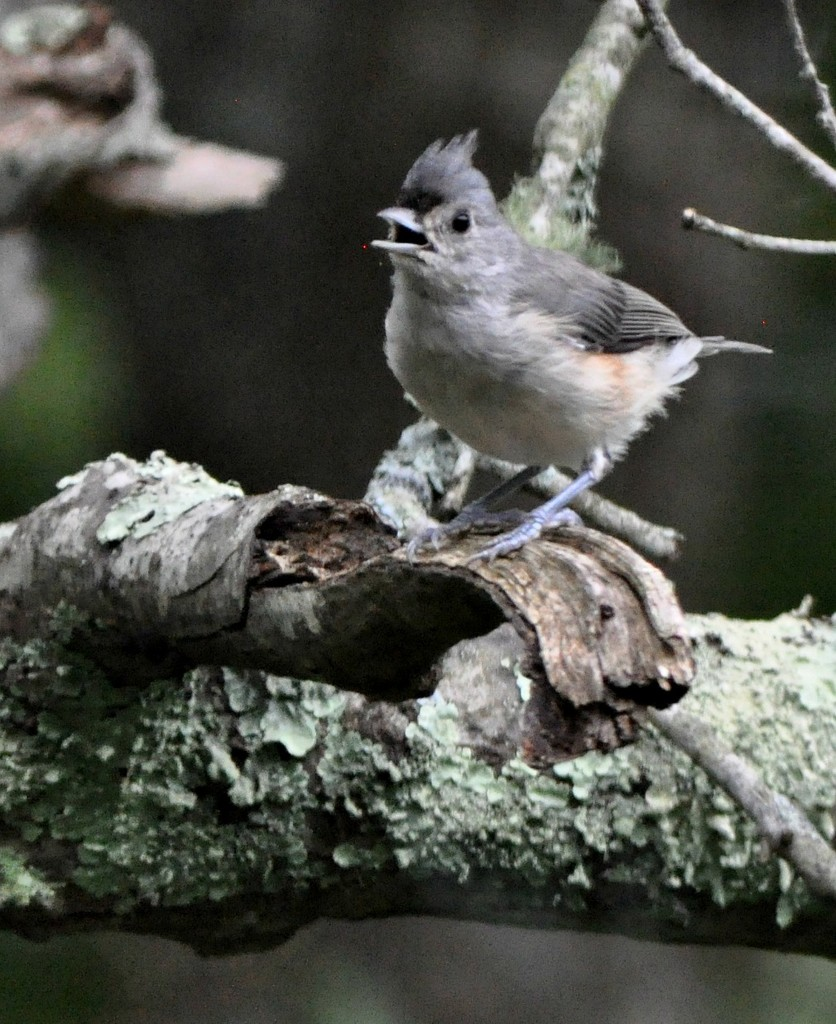 A little titmouse singing. by sailingmusic