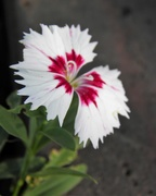 28th Aug 2018 - August 28: Dianthus