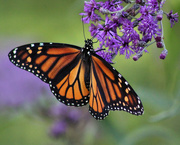 3rd Sep 2018 - Monday Monarch