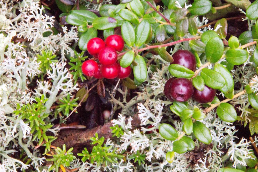 Low-Bush Cranberries by jetr