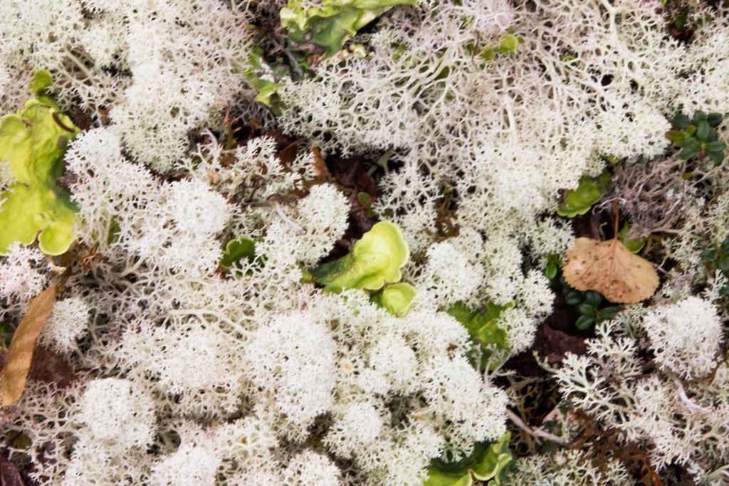 Caribou Lichen by jetr