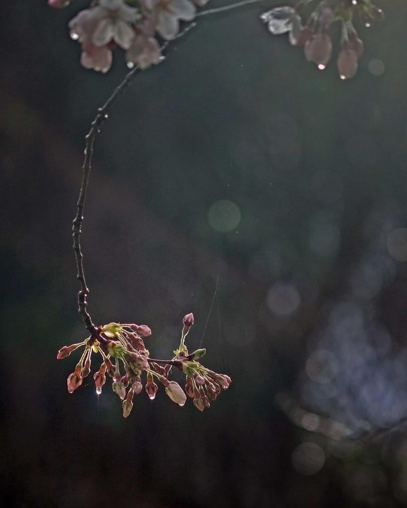 Cherry blossom in the rain by maureenpp
